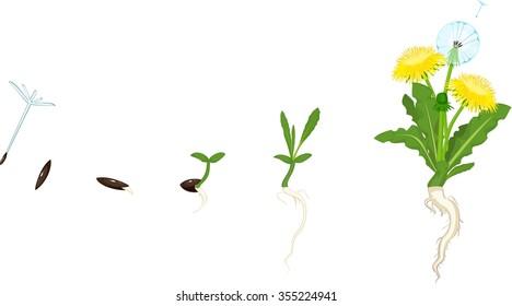 Life cycle of dandelion