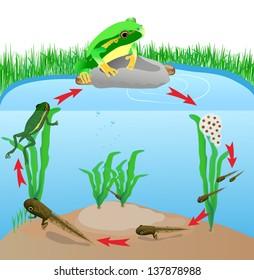 life cycle european tree frog. Metamorphose. Hyla Rana arborea. Eggs, tadpoles, frog