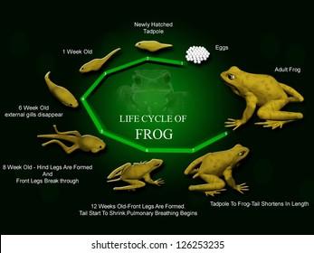 life cycle of frog. Metamorphose. Hyla Rana arborea. Eggs and tadpoles.