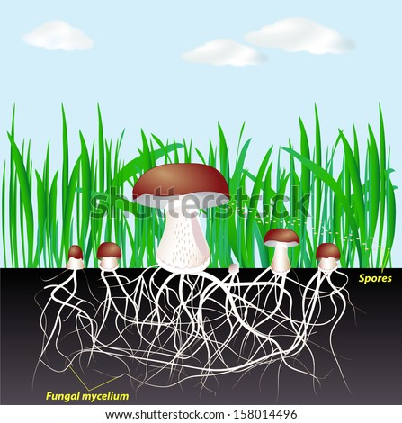 Life Cycle Fungi Mushroom Mycelium Spore Stock Illustration