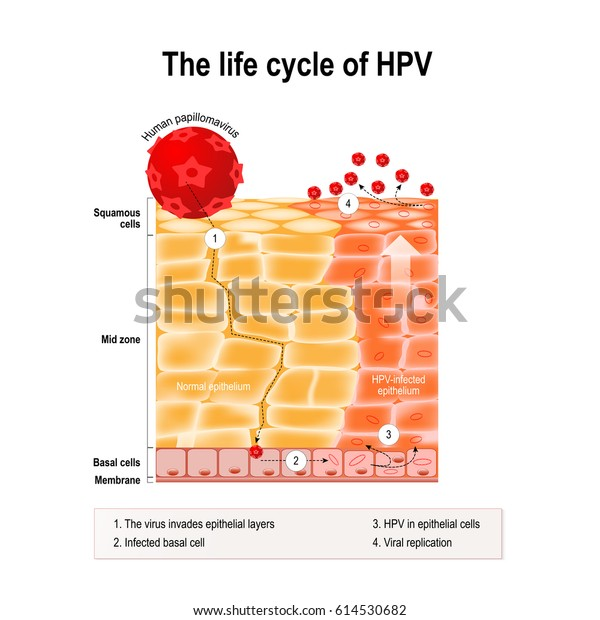 life cycle of hpv virus)