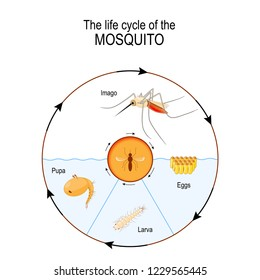 life cycle of the mosquito: imago, eggs, pupa, larva. Anopheles is a genus of the mosquito that transmit human malaria. diagram for scientific, and educational use