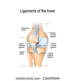 Ligaments of the knee. Anterior and Posterior cruciate ligaments, Patellar and Quadriceps,  tendons, Medial and Lateral collateral ligaments. joint anatomy. illustration for biological and education