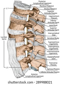 Ligaments, lumbar spine structure, anterior longitudinal, intertransverse, interspinous, supraspinous ligaments, vertebral bones, anatomy of human bony system, human skeletal system, left lateral view