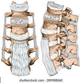 Ligaments and lumbar spine structure, anterior longitudinal, intertransverse, interspinous and supraspinous ligaments, anatomy of human bony system, human skeletal system, anterior and lateral view