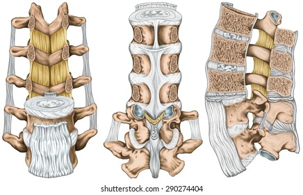 Ligaments and lumbar spine structure, the ligaments surrounding the lumbar spine, posterior longitudinal ligament, intertransverse ligaments, human bony system, anterior, lateral, posterior view