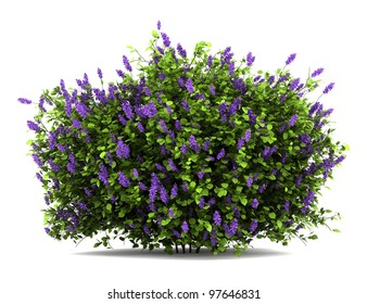 lilac flowers bush isolated on white background