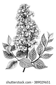 Lilac or syringa vulgaris flowers. Hand drawn spring illustration on white background.