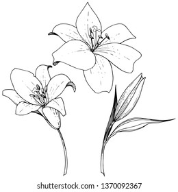 Lily floral botanical flower. Wild spring leaf wildflower isolated. Black and white engraved ink art. Isolated lilies illustration element on white background.