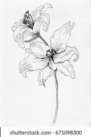lily flower ink skech  hand drawn