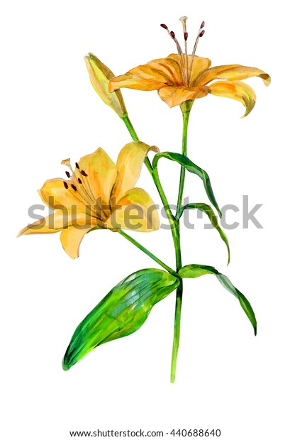 Lily flower. Isolated on a white background. Watercolor handwork illustration
