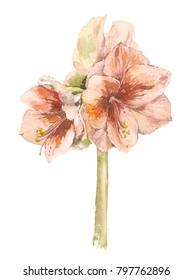 Lily flower. Watercolor floral illustration. Floral decorative element. Flower concept. Botanica concept.