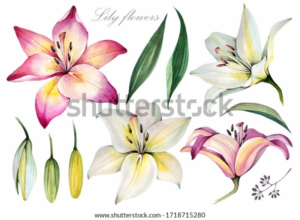 Lily. Flowers elements. Watercolor illustration.