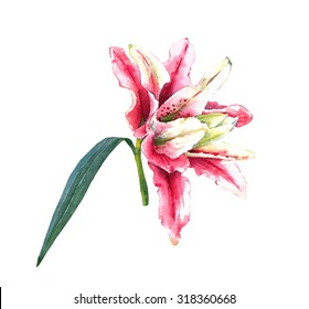 Pink Lily Watercolor Images Stock Photos Vectors Shutterstock