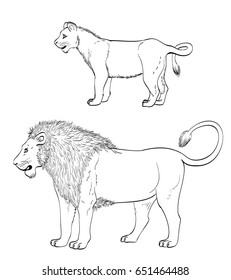 lion drawing. mature male lion and lionet on white. raster illustration