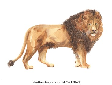 Lion in the technique of watercolor painting on a white background