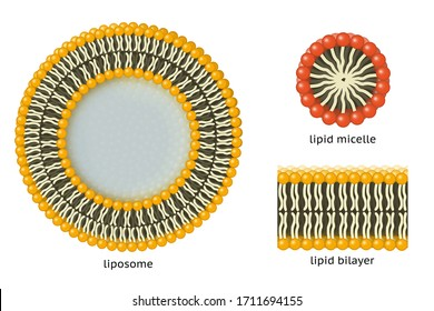 Liposome, lipid micelle, lipid bilayer. When phospholipids are placed in water, they spontaneously form membranes