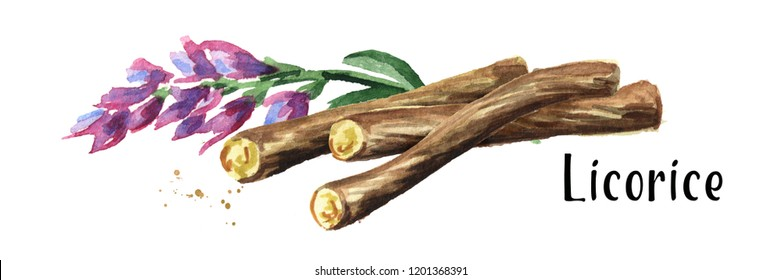Liquorice roots with flower. Watercolor hand drawn illustration isolated on white background