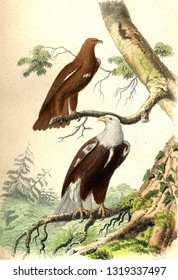The Little Eagle or Eagle Screaming, The Eagle, vintage engraved illustration. From Buffon Complete Work.