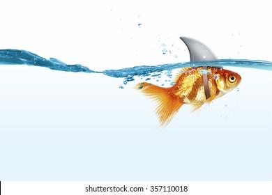 Little goldfish in water wearing shark fin to scare predators
