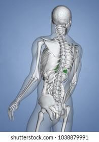 Liver, 3D Human Model
