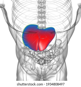 Liver 3D Illustration Human Digestive System Anatomy For Medical Concept