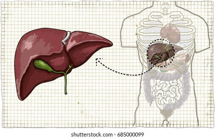 The Liver (Human Anatomy) Illustration on Old Paper