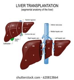 Liver transplantation. segmental anatomy of the liver and blood supply. Human anatomy