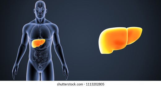 Liver zoom with organs anterior view 3d illustration