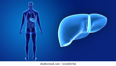 Liver zoom with organs posterior view 3d illustration