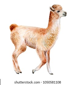 Llama or alpaca hand-drawn watercolor illustration. Cute mammal animal painting isolated on white background. Template. Manual work. Close-up