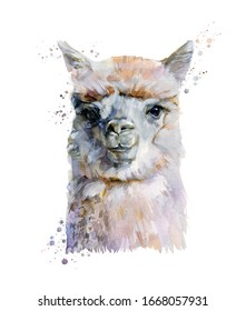 Llama watercolor illustration painting isolated on white background