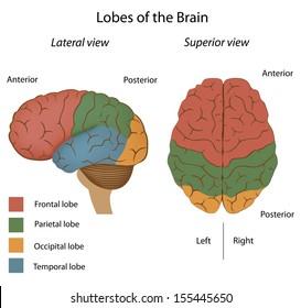 Parietal lobes images stock photos vectors shutterstock lobes of the brain ccuart Images