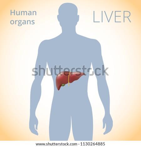 Location Liver Body Human Digestive System Stock Illustration ...