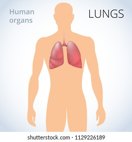 the location of the lungs in the body, the human respiratory system