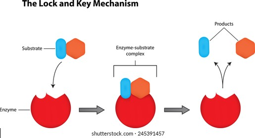 Lock Key Mechanism Enzymes Stock Vector 245391454 Shutterstock
