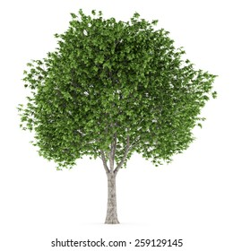 london plane tree isolated on white background