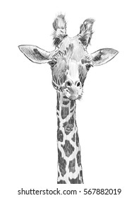 long neck african giraffe illustration, hand drawn animal head in fun pencil sketch hatchwork design isolated on white background