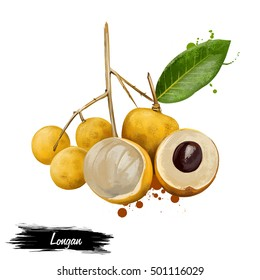 Longan, Dimocarpus longan, Central of Thailand. Dimocarpus longan, longan, tropical tree that produces edible fruit. Fruits of the world collection. Digital art illustration