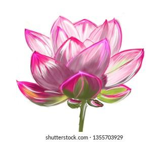 lotos flower bloomming white background