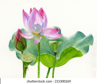 Lotus Blossom with Lily Pad.  Watercolor painting, illustration style, with a light pink blossom, bud, two seed pods and a lily pad.