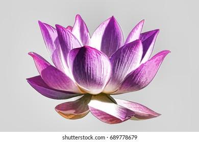Lotus flower graphism