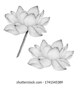 lotus flower in pencil drawing isolated on white, botanic illustration with realistic lotus flower, pencil sketch with water lily