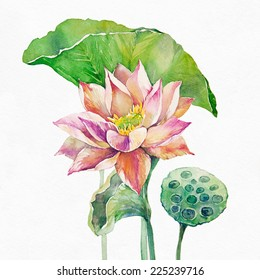 Lotus flower and seed pod. Watercolor illustration on white background.