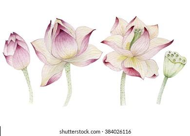Lotus flowers painted in watercolor