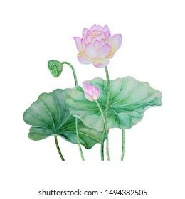 Lotus flowers. pink Lotus bouquet. Watercolor hand painted botanical illustration.