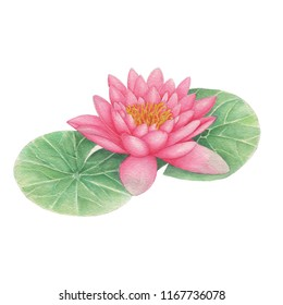 Lotus Hand drawn and watercolor illustrations. Watercolor painting Lotus. Flowers Illustration isolated on white background.A beautiful watercolor Lotus, hand painted in vintage botanical art