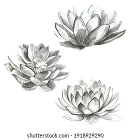 Lotus pencil lotus flower. Water lily. Pencil drawing of a water lily flower.