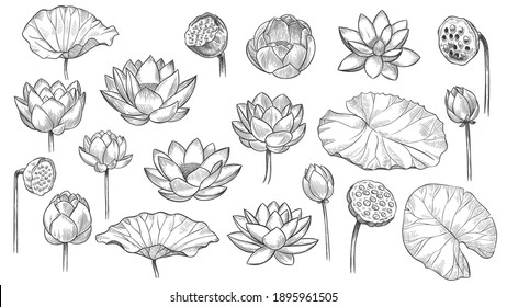 Lotus. Sketch floral composition lotus flowers and leaves, magic flower life symbol, black outline botanical plant hand drawn  set. Beautiful blossom, bud with petals and leaves