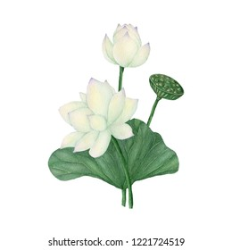 Lotus and Waterlily isolated on white background .Lotus and Water Lily  Hand painted Watercolor illustrations.